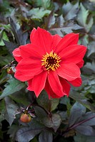 Dahlia (Dahlia ´Bednall Beauty´) flower.