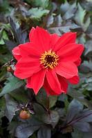 Dahlia (Dahlia ´Bednall Beauty´) flower.