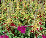 Flame nettle flowers (Coleus sp.)