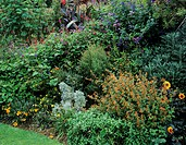 Autumn border. Flowers in a garden border including sage (Salvia sp., violet, top), arnica (Arnica sp., orange, bottom left) and black-eyed Cuphea (Cu...