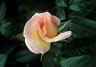 Rose flower (Rosa ´Sally Holmes´).