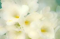 Hybrid freesia flowers (Freesia sp.).