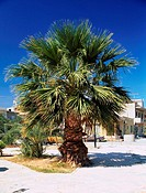 Chamaerops humilis. Palm tree whole plant in street.