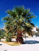Chamaerops humilis. Palm tree whole plant in street.