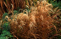 Miscanthus sinensis `Kleine Fontayne´. Dry grass heads amongst other foliage plants.