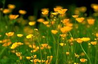 Ranunculus acris. Meadow buttercups in meadow. Derbyshire White.
