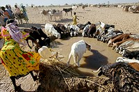 Cattle drinking. Herd of cattle (Bos taurus) drinking from a traditional trough. Water is obtained from wells using large containers. The water is the...