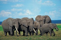 African elephants Loxodonta africana walking in steppe