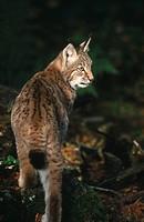 Lynx Lynx lynx in forest, Bavarian Forest National Park, Bavaria, Germany