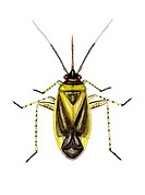 Capsid bug (Plagiognathus chrysanthemi), artwork. This species of capsid bug measures between 3.3- 4.1mm long. It lives partially on nettles (Urtica s...