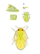 Jumping plant louse nymph (Trioza urticae). Artwork of various stages in the development of a jumping plant louse. The drawing at top left is of eggs ...