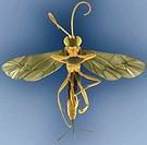 Wood wasp, coloured scanning electron micrograph (SEM). This wasp, also called a horntail, is in the family Siricidae. Females lay eggs in bark, where...
