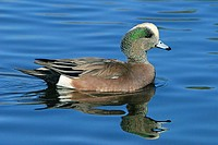 American widgeon (Anas americana). This bird is found throughout North and Central America and in Northern parts of South America. It feeds on aquatic...