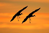 Sandhill cranes (Grus canadensis) in flight silhouetted against the sky. This bird is found in wetlands throughout North America. It wades in shallow ...