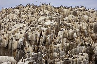 Nesting seabirds including razorbills (Alca torda) and guillemot (Uria aalge). Photographed on the Farnes Islands, Scotland.