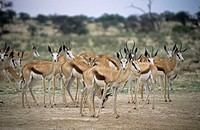 Male springbucks (Antidorcas marsupialis) in a bachelor herd. This social gazelle-like antelope is found on the savannahs and open dry plains of south...