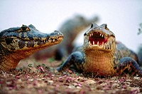 Three caimans (Caiman crocodilus) sunbathing on the bank of a water pond. Near Pocone. Pantanal. Mato Grosso. Brazil.