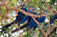 Hyacinth macaw (Anodorhynchus hyacinthinus) group perching on a branch. Pantanal near Porto Joffre. Mato Grosso. Brazil