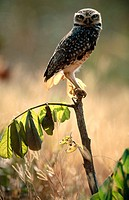 Burrowing owl (Athene cunilaria) sitting on a perch. Chapada dos Guimaraes. Mato Grosso. Brazil