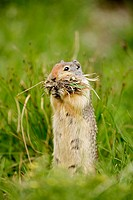 Columbian Ground Squirrel (Spermophilus columbianus)-Montana-Gathering grass in mouth to store in nest-Hibernates seven to eight months of the year-Ea...