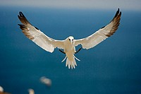 Northern Gannet (Morus bassanus) - Canada - In flight - Large white seabird  with long black tipped wings and pointed tail - Six foot wingspan - High-...