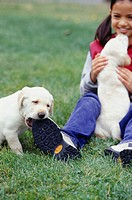 Girl (6-7) playing with Yellow Labrador puppies in garden