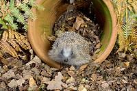 Hedgehog (Erinaceus europaeus) in flowerpot.