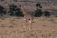 Masai giraffe (Giraffa camelopardalis) galloping, Kenya