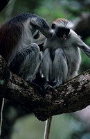 Two Zanzibar red colobuses (Procolobus badius kirkii) on tree branch, grooming, Zanzibar