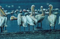Flock of white pelicans (Pelecanus onocrotalus) in water, preening feathers, Lake Nakuru, Kenya