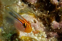 Redhead Goby (Elacatinus puncticulatus). Sea of Cortez, Mexico