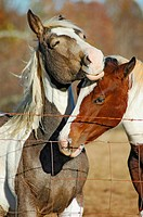 Horses in pasture, one with colt