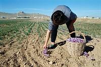 Picking saffron flowers. Consuegra, Toledo province, Castile-La Mancha, Spain
