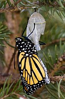 Monarch butterfly (Danaus plexippus), emerged adult inflating wings. Lively, ON, Canada