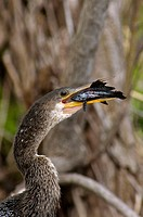 Anhinga (Anhinga anhinga) attempting to swallow prey. Myakka River SP, FL, USA