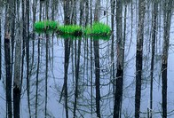 Patch of emerging irises in beaver pond with dead tree reflections. Espanola. Ontario. Canada.