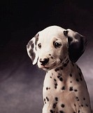 Young Dalmatian Puppy