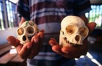 Monkey skulls. Amazonia. Peru