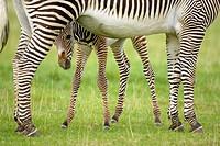 Grevy´s Zebra (Hippotigris grevyi), foal.