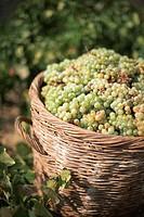 Basket of green grapes, close-up