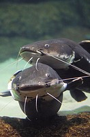 Fresh water fishes, this south American fish knows as 'Surubi' live and eat from the muddy bottom of rivers
