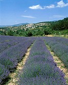 Lavender Fields and Village, Aurel, Provence, France