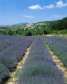 Lavender Fields and Village, Aurel, Provence, France