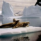Weddell Seals (Leptonychotes weddelli). Antarctica. South Pole