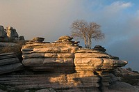 Tree growing on Jurassic limestones, Torcal de Antequera. Málaga province, Andalusia, Spain