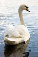 Adult Mute Swan (Cygnus olor) at Roberts Bay. Sidney, British Columbia, Canada, 29 November 2005