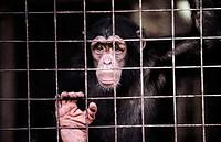 Chimpanzee (Pan troglodytes). Limbe. Cameroon