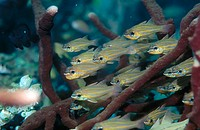 Yellowstriped Cardinalfish (Apogon cyanosoma ). Lombok Strait, Indonesia