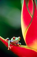Red-eyed tree frog (Agalychnis callidryas) on a heliconia. Selva Verde. Costa Rica