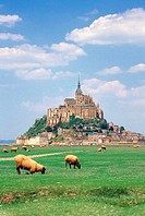Group of sheep grazing, Mont St Michel, Basse-Normandie, France